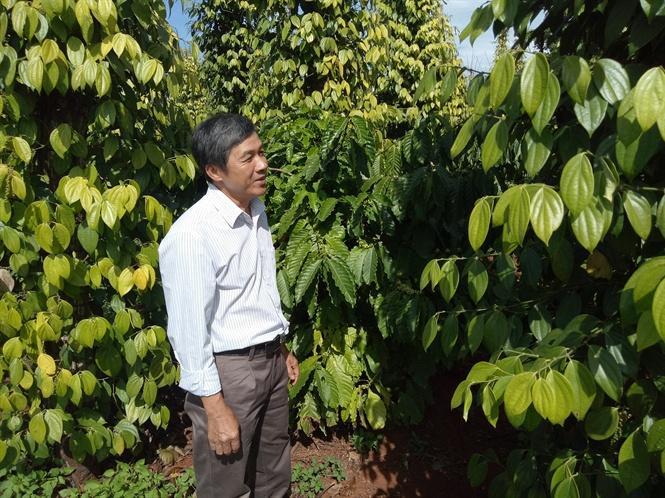 Nông dân Nguyễn Văn Minh bên vườn tiêu được cứu sống từ phân bón hữu cơ Ong Biển