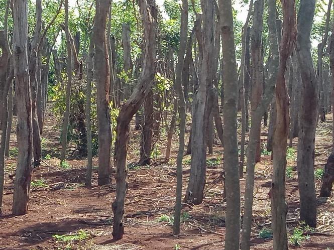 Những nghĩa địa hồ tiêu tại Chư Pưh
