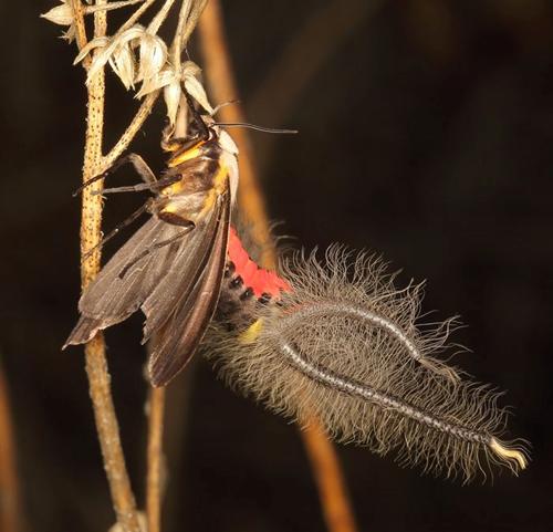 Đây thực chất là một loại bướm thuộc họ bướm đêm có tên Creatonotos gangis
