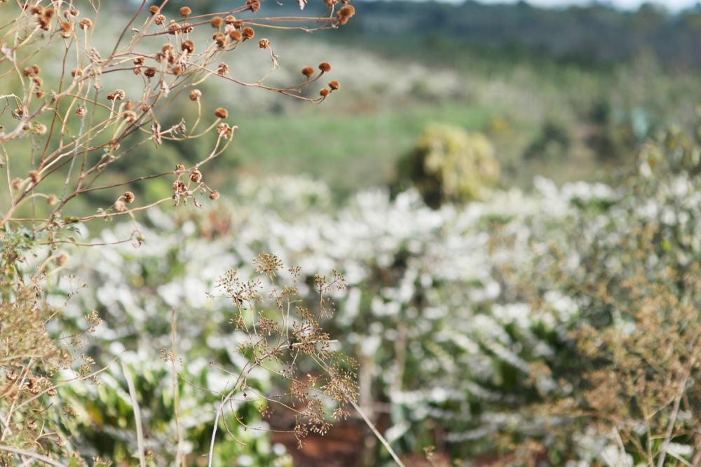 Những bụi hoa dã quỳ nhường chỗ cho rẫy hoa cà phê bung nở trắng xóa đồi đất. Ảnh: N.G