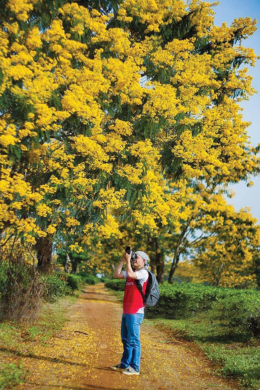 Hoa muồng vàng ở Nông trường Chè Bàu Cạn (huyện Chư Prông). Ảnh: Công Ngô