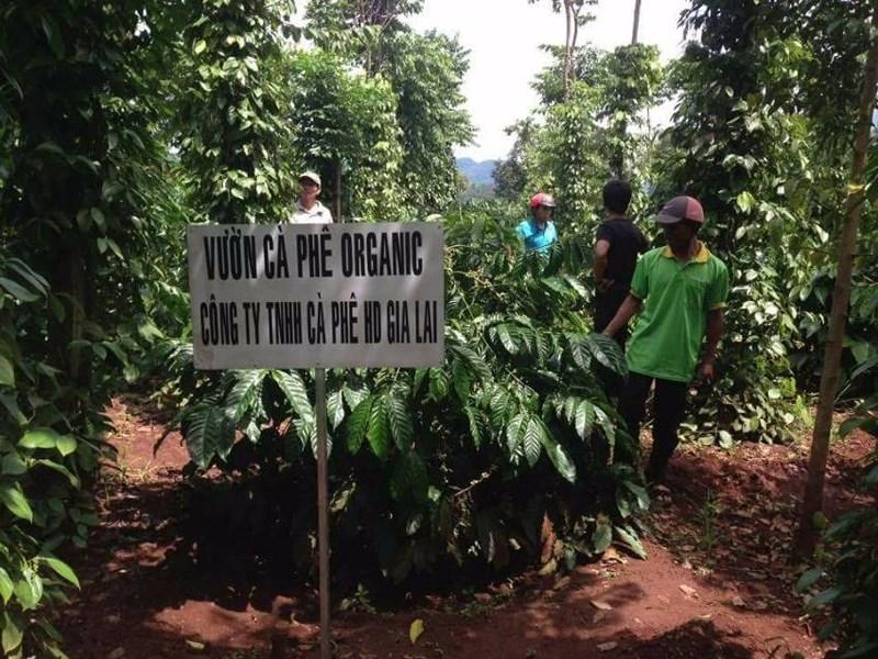 Vườn cà phê organic của Duy trở thành vườn mẫu cho các hộ nông dân. ẢNH: HD