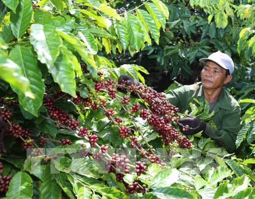 Cà phê đang là một trong số các mặt hàng nông sản rớt giá mạnh khiến người sản xuất lao đao. Ảnh: Vũ Sinh - TTXVN