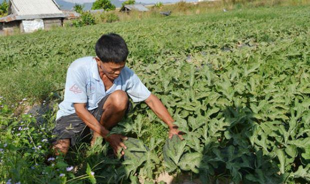 Sau 3 tháng gieo trồng, người trồng dưa bắt đầu lo sợ trước nạn bảo kê