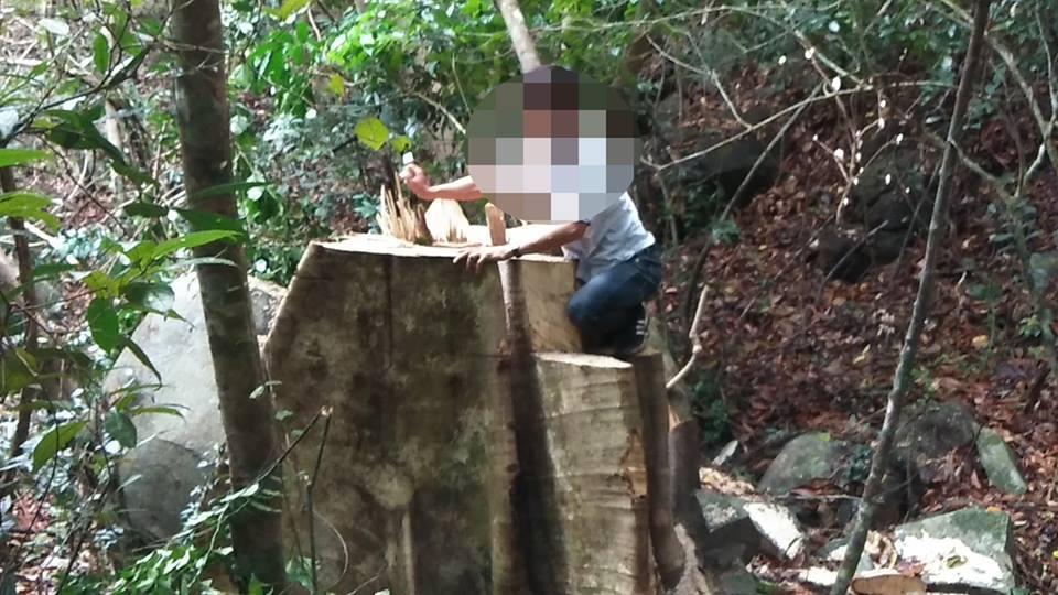 Những gốc cây cổ thụ bị lâm tặc quật ngã.