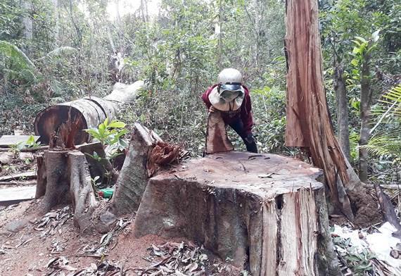 Rừng ở huyện Kbang, tỉnh Gia Lai bị đốn hạ