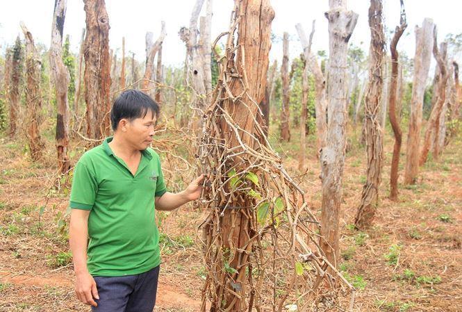 Vườn tiêu nhà anh Trần Xuân Thịnh (thôn Phú Hà, xã Ia Blứ) bị chết rụi