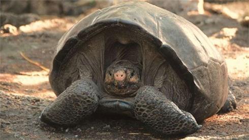 Rùa Fernandina.
