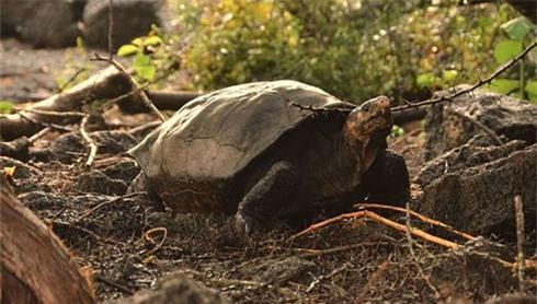 Loài rùa này vốn được cho là đã tuyệt chủng từ hơn 100 năm trước.