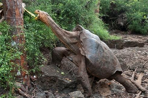Cụ rùa Lothario Diego, 100 tuổi là cha của khoảng 40% con non chào đời trong suốt 50 năm quaở đảo Espanola.