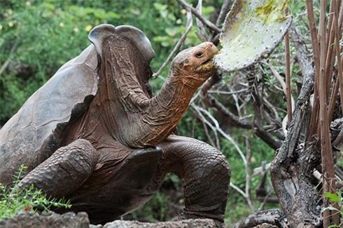 Lothario Diego thuộc loài rùa khổng lồ Chelonoidis hoodensis, dài 90 cm, chiều cao lên tới 1,5 mét, nặng 80 kg
