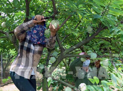 Chí Linh có trên 60 ha na VietGAP và khi thu hoạch có giá cao hơn 20% so với giá na không trồng theo VietGAP. Ảnh: Vũ Sinh - TTXVN