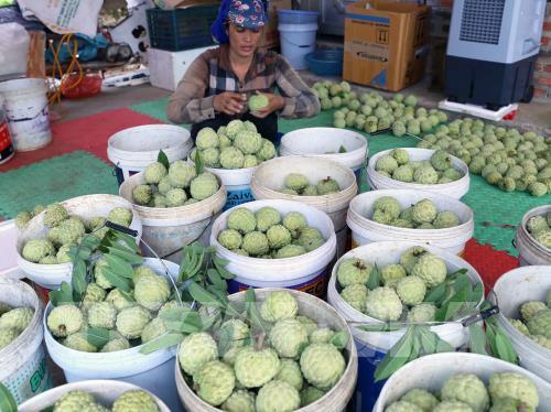 Hộ nông dân Trịnh Đức Thưởng ở thôn Tân Tiến, xã Hoàng Tiến, thị xã Chí Linh có hơn 2 ha trồng na, mỗi năm thu lãi hơn 200 triệu đồng. Ảnh: Vũ Sinh - TTXVN