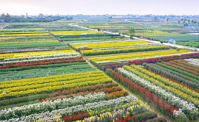 Cánh đồng hoa thôn Phù Tải