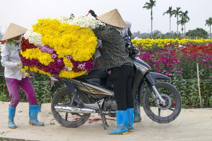 Hoa được nhiều thương lái mua đưa đi tiêu thụ ở các tỉnh, thành phố lân cận