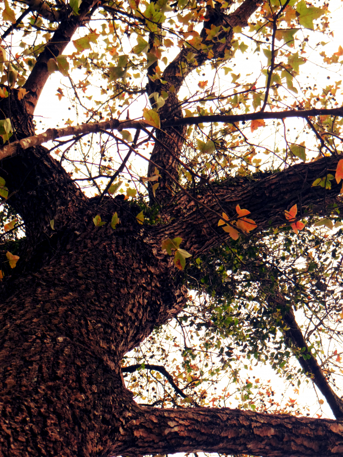 Thân cây thân có kích thước 2 người ôm mới xuể