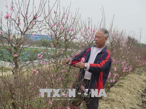 Vườn đào của gia đình ông Nguyễn Văn Xuân (khu dân cư Thái Bình, phường Thạch Khôi, TP Hải Dương) ước tính lãi ít nhất 80 triệu đồng từ vụ đào Tết năm nay