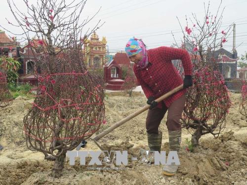 Nông dân phấn khởi vì được mùa đào Tết.Phường Thạch Khôi hiện có trên 6 ha trồng đào với khoảng 300 hộ gia đình canh tác.