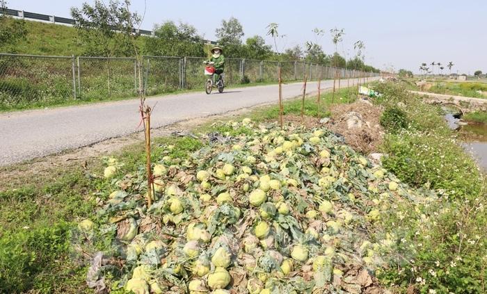 Su hào không bán được bị người dân Hưng Đạo, Ngọc Kỳ mang ra vứt cạnh đường gom đường ô tô cao tốc Hà Nội - Hải Phòng