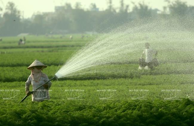 Những ruộng cà rốt san sát nhau của bà con huyện Cẩm giàng, Hải Dương- ảnh TTXVN