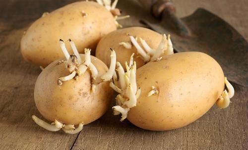 Tuyệt đối không sử dụng khoai tây mọc mầm. (Ảnh: Internet)
