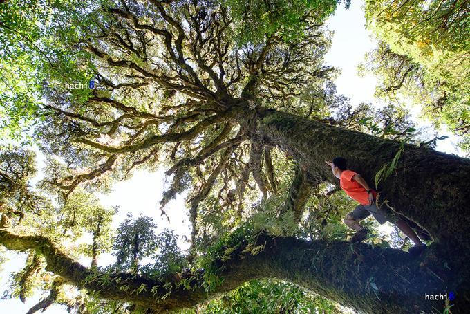Những cây cổ thụ với tán lá xum xuê, thân to lớn mà rêu phong và dương xỉ phủ kín khiến tất cả như biến thành khung cảnh cổ tích, huyền bí.