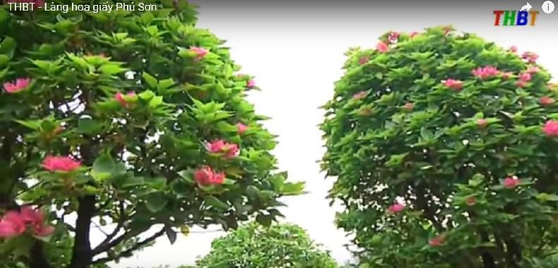 Từ bao đời nay, làng là nơi cung cấp lượng lớn chậu cây hoa giấy cho thị trường, đặc biệt là dịp Tết Nguyên đán. Ảnh: THBT.