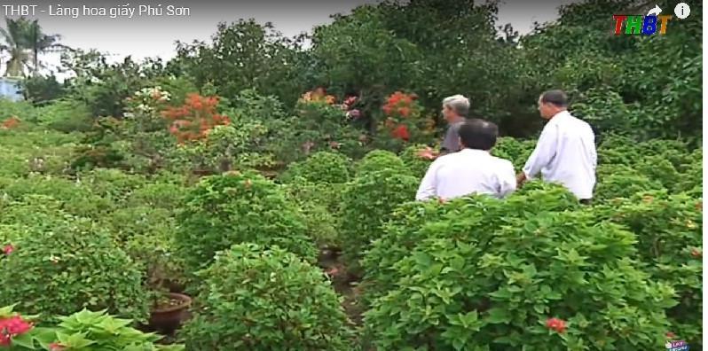 Hàng năm, các hộ nông dân trong xã sản xuất khoảng 1.000 chậu cây hoa giấy, phục vụ Tết. Ảnh: THBT.