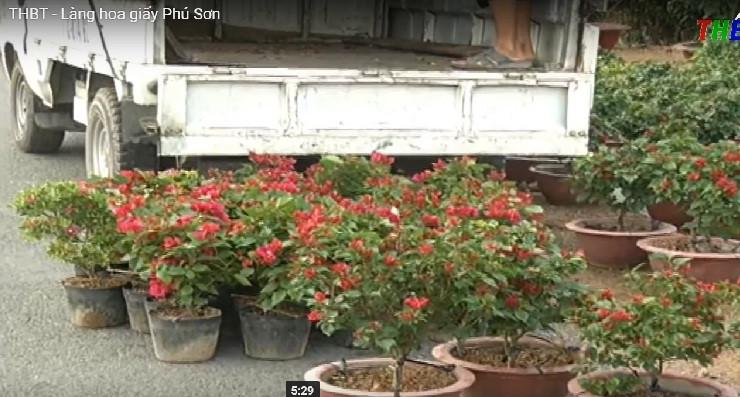 Thay vì trồng mới, những chậu hoa giấy tại đây phần lớn là tồn đọng từ năm trước. Ảnh: THBT.