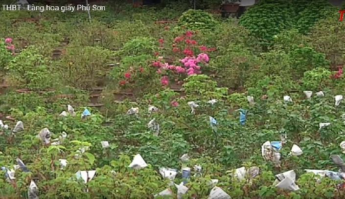 Những chậu hoa giấy được bọc cẩn thận để chuẩn bị cho ra hoa đúng dịp Tết. Ảnh: VTV.