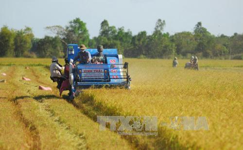Giá lúa Đông Xuân sớm tại Hậu Giang tăng cao . Ảnh: Thanh Vũ-TTXVN