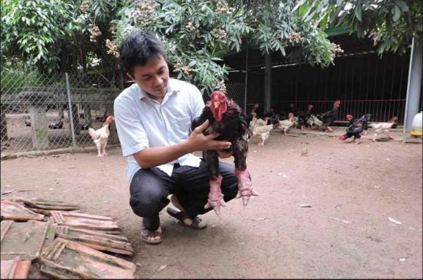 Gà Đông Tảo không biết tự kiếm ăn, vụng ấp trứng, dễ nhiễm bệnh nên chi phí nuôi khá tốn kém. (Ảnh: Dân Việt)