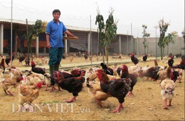 Thức ăn của gà chuẩn bị kỳ công, một trong những món ưa thích của gà Đông Tảo là lúa ngâm cho hạt nảy mầm sau đó trộn với cám ngô. (Ảnh: Dân Việt)