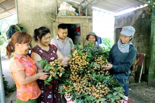 Người dân xóm Khoang mừng vui vì nhãn Sơn Thủy được mùa được giá