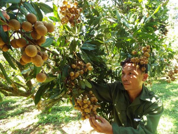 Gia đình anh Bùi Văn Mến, xóm Khoang năm nay thu nhập cỡ 700 triệu đồng từ bán nhãn Sơn Thủy