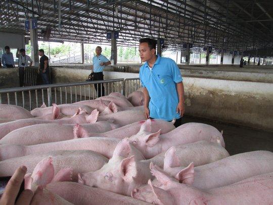 Với giá dao động từ 28.000 - 33.000 đồng như hiện nay, người chăn nuôi đang bị lỗ nặng.