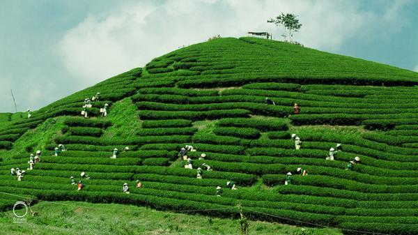 Những đồi chè xanh mướt mát ở Mộc Châu. (Ảnh: internet)
