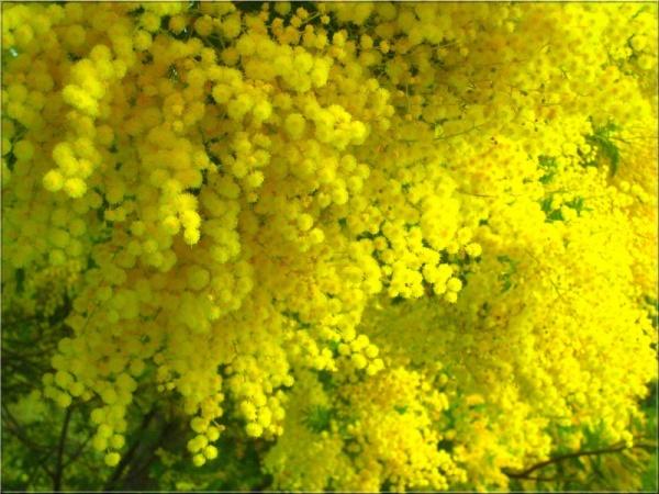 Đà Lạt tháng 12 là lúc hoa mimosa khoe sắc