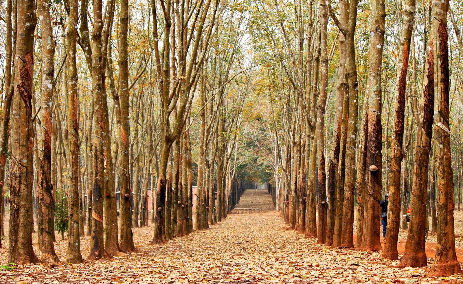 Rừng cao su Đồng Nai, Bình Phước