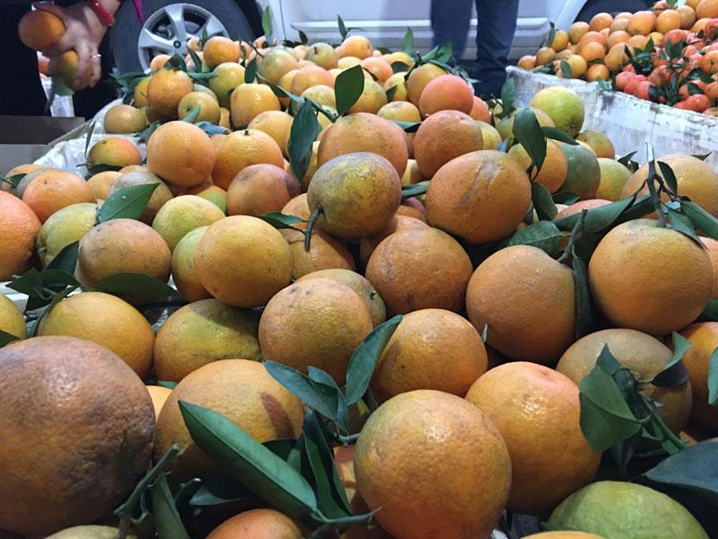 Giá cam Cao Phong đang giảm do nguồn cung dồi dào