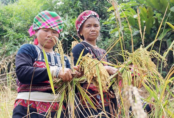 Gia chủ làm lễ giữ hồn lúa mẹ tại nương lúa.