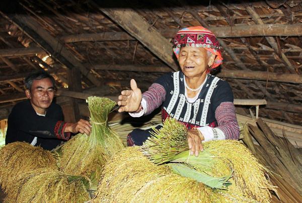 Bà chủ nhà lấy cum lúa đè lên hồn vía lúa (dùng lá ngái bọc hồn vía lúa) giữ trên sàn gác.