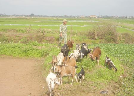 Hàng ngày, anh Trương Minh Thuận ở thôn Gạo Nam, xã Hồ Tùng Mậu đều phải đưa đàn dê của mình đi chăn thả