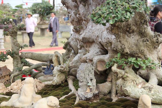 Cây duối cổ thụ và bộ rễ