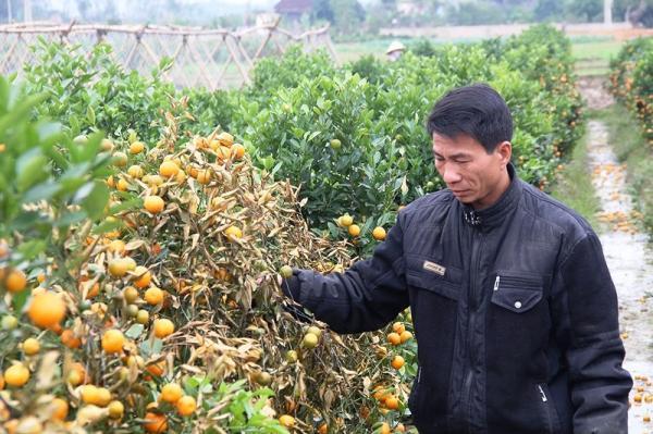 Sau một đêm tỉnh giấc vườn quất của anh Lê Đức Việt với 300 gốc đã bị kẻ gian dùng thuốc diệt cỏ hãm hại làm toàn bộ quất héo dần