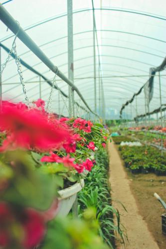 Nhiều loại hoa treo được trồng và bán