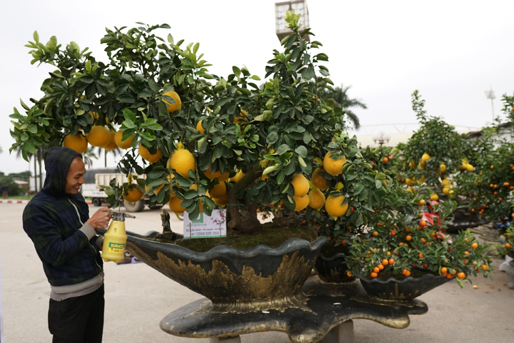 Ngoài quất, anh Hoàn còn trồng thêm bưởi cảnh - một loại cây cảnh được trồng nhiều ở Hưng Yên. Trong ảnh: Chậu quất cảnh có tên