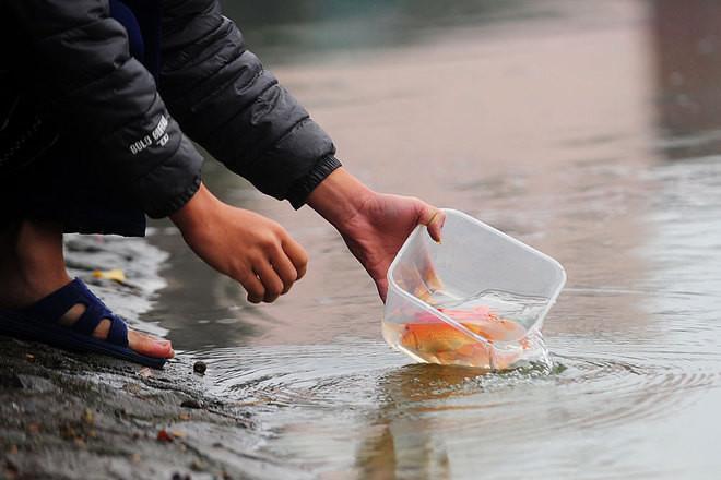 Phải thả cá nhẹ nhàng, từ từ, không quăng, ném.