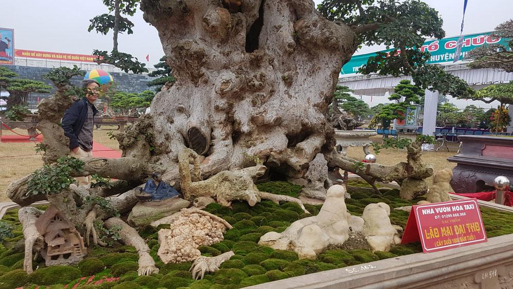 Cận cảnh cây duối và bộ rễ