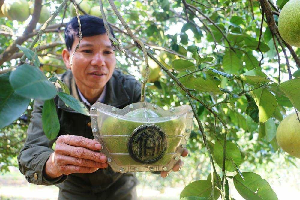 Năm đầu tiên anh Quang chỉ thử nghiệm khoảng 200 quả